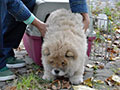 Chow-chow puppy Sa-Kou Ginger VICEROI in Khabarovsk