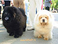 Chow-chow at the dog-show