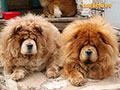 Chow-chow picture