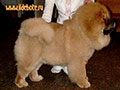 Chow-chow puppie picture