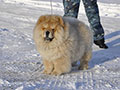 Chow-chow kennel Russia