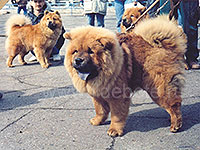 Dog chow chow photo of chow chow kennel Russia IL DE BOTE Khabarovsk