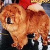 maximize red chow-chow